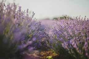 lavender purple flowers botanicals #eroseco