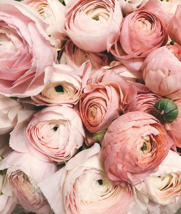 peonies peony roses flowers botanicals #eroseco